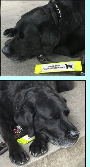 Photos show Rocky with his head resting on his paws on the floor and his eyes closed next to a tag saying 'Guide Dog Foundation Puppy.'  The next photo shows his head and paws on top of and covering the tag.